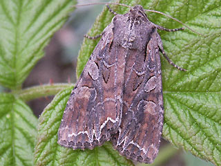Lacanobia thalassina Schwarzstrich-Kr�utereule Pale-shouldered Brocade