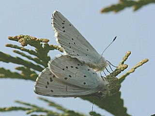 Paarung Faulbaum-Bl�uling Celastrina argiolus Holly Blue