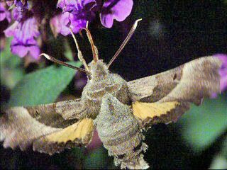Nachtkerzenschw�rmer Proserpinus proserpina Willowherb Hawk-moth
