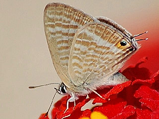 Paarung Gro�er Wander-Bl�uling Lampides boeticus Long-tailed Blue