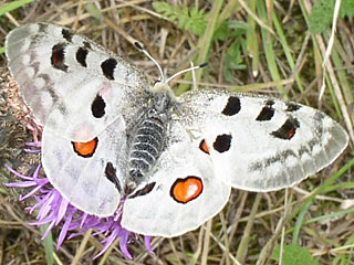 Apollofalter Apollo  Parnassius apollo