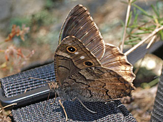Hipparchia fatua  Freyer's Grayling