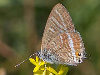 Großer Wander-Bläuling Lampides boeticus Long-tailed Blue