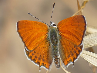 Männchen Lycaena thersamon Lesser Fiery Copper