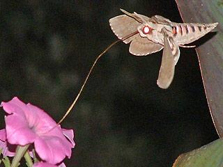 Kostenloses Foto Mirabilis Jalapa Wunderblume