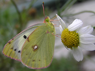 �stlicher Gelbling Steppengelbling Colias erate Eastern Pale Clouded Yellow