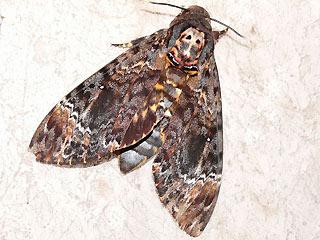 totenkopfschw rmer acherontia atropos deathhead hawk moth wanderfalter migration. Black Bedroom Furniture Sets. Home Design Ideas