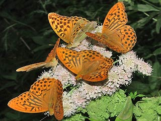 5 Falter Kaisermantel Argynnis paphia Silver-washed Fritillary