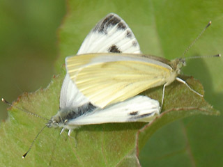 Paarung Rapswei�ling Pieris napi Green-veined White