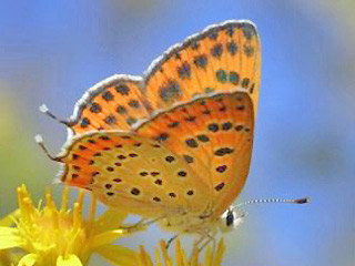 Weibchen Lycaena thersamon Lesser Fiery Copper