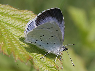 Weibchen Faulbaumbl�uling  Holly Blue Celastrina argiolus