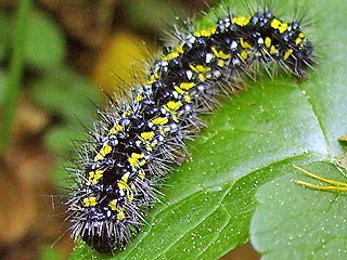 Raupe Sch�nb�r Callimorpha dominula Scarlet Tiger