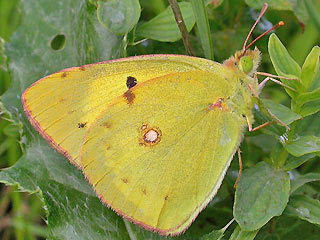 M�nnchen �stlicher Gelbling  Colias erate  Eastern Pale Clouded Yellow