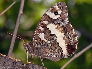 Wei�er Waldportier Brintesia ( Aulocera ) circe Great Banded Grayling