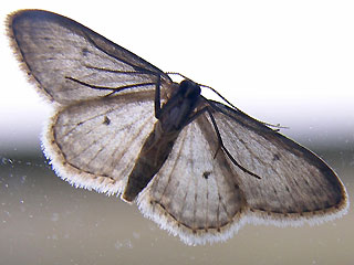 Unterseite Idaea seriata Grauer Zwergspanner Small Dusty Wave