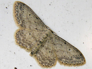 Idaea seriata Grauer Zwergspanner Small Dusty Wave
