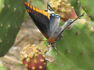 Falter an Feigen saugend Erdbeerbaumfalter Charaxes jasius Two-tailed Pasha