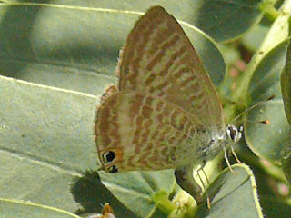 Eiablegendes Weibchen Gro�er Wander-Bl�uling Lampides boeticus Long-tailed Blue