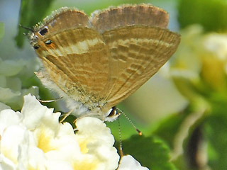 Weibchen Gro�er Wander-Bl�uling Lampides boeticus Long-tailed Blue