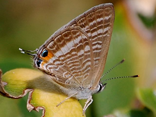 Lampides boeticus   Gro�er Wander-Bl�uling  Long-tailed Blue
