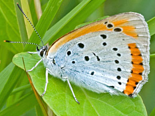 Lycaena dispar batava  Gro�er Feuerfalter Large Copper