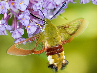 Hummelschw�rmer Hemaris fuciformis Broad-bordered Bee Hawk-moth