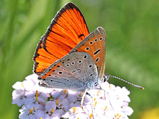 Lycaena dispar   Gro�er Feuerfalter Large Copper
