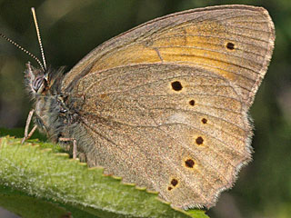 Kirinia climene Lesser Lattice Brown