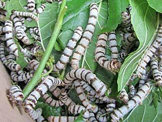 Seidenspinner Maulbeerspinner Bombyx mori Domestic Silkmoth