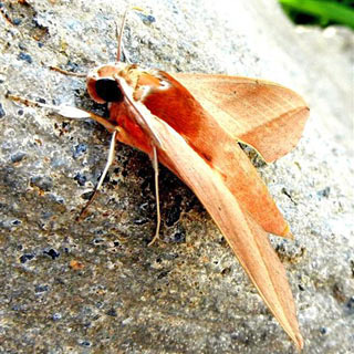 theretra alecto levant hawk moth orientalischer weinschw rmer. Black Bedroom Furniture Sets. Home Design Ideas