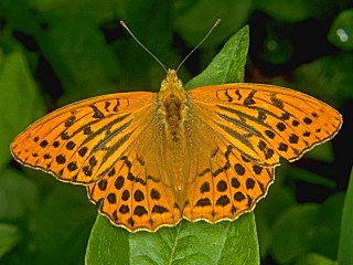 Kaisermantel Argynnis paphia Silber-washed Fritillary